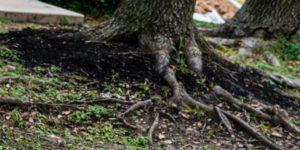 the roots of a tree that could cause foundation cracks
